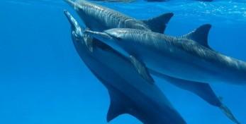 dolphins pinakio
